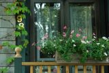 DSC07273.jpg flowered curtain