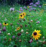 Black Hills Wild Flowers
