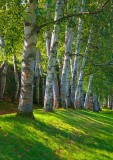 Birch at St Gaudens    0278