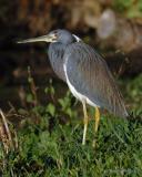 Louisiana Heron II