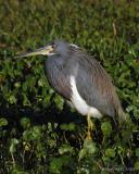 Louisiana Heron III
