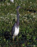 Louisiana Heron IV
