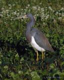 Louisiana Heron V