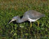 Louisiana Heron VI