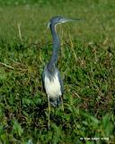 Louisiana Heron 3-8