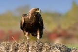 Golden Eagle (on hay bale)