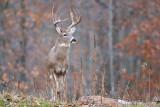 Buck approaching!