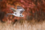 Northern Goshawk in flight