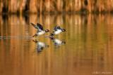 Buffleheads landing (female)
