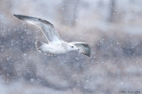 Ring billed gull in snow