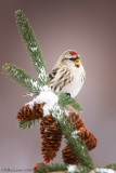Common Redpoll singing on winter pines