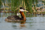 Red Necked Grebe baby rider