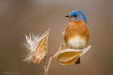 Bluebird (male) on milkweed