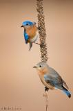 Bluebird combo on Mullien