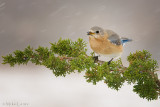 Juniper in snowstorm