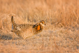 Prairie chicken on Lek