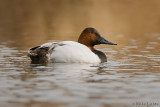 Canvasback drake on calm waters