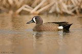 Blue Wing Teal in marsh