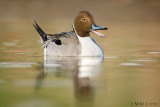 Pintail squaking