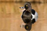 Ringnecked- Duck