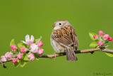 Field Sparrow on bloom