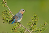 Bluebird  (female)
