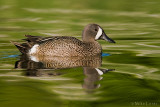 Blue Winged teal on painterly waters