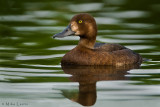 Greater Scaup (hen)