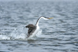 Western Grebe solo rusher