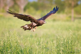 Golden Eagle fly by!