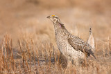 Sharp Tailed Grouse