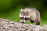 Racoon (baby)