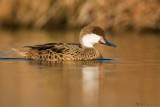 White-cheeked  Pintail (Bahama Pintail)