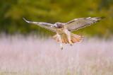 Redtailed Hawk in fall snowy flight
