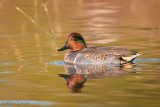 Green -Winged Teal