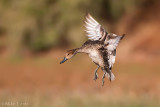Northern Pintail (hen)