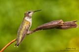 Ruby throated Hummingbird (juvenile) on seed pod