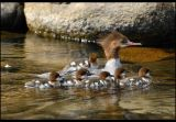 Common merganser with young ones