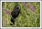 Red Wing Blackbird posing
