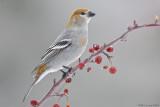 Pine Grosbeak (female) on berries