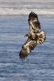 Immature eagle banking