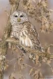 Barred Owl in Oak tree