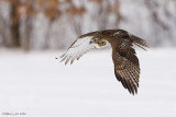 Redtail dive
