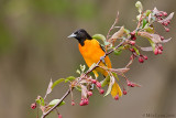 Baltimore Oriole on pre blooming branch