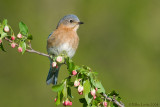Bluebird (female) on crabapple buds