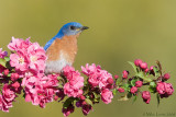 Bluebird (male) on blooming crabapple