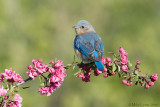 Bluebird looking back on crabapple