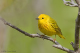 Yellow warbler in woods