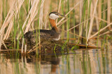 Red necked grebe on her nest