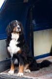 Bernese mountain dog (I think)